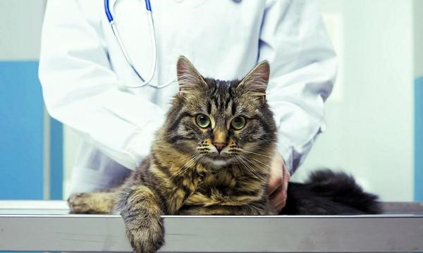 Симптомы и лечение коронавируса у кошек