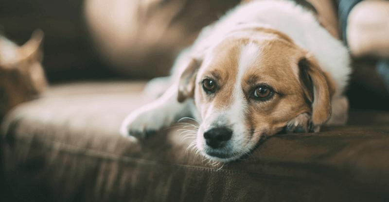 Симптомы и лечение короновирусной инфекции у собак
